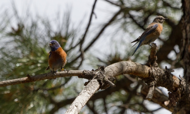 A pair of western bluebirds sporting legbands