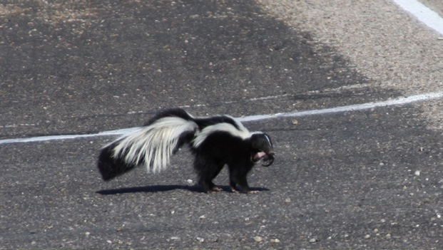 Mother striped skunk moving one of her babies